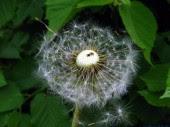 Dandelion blow 2