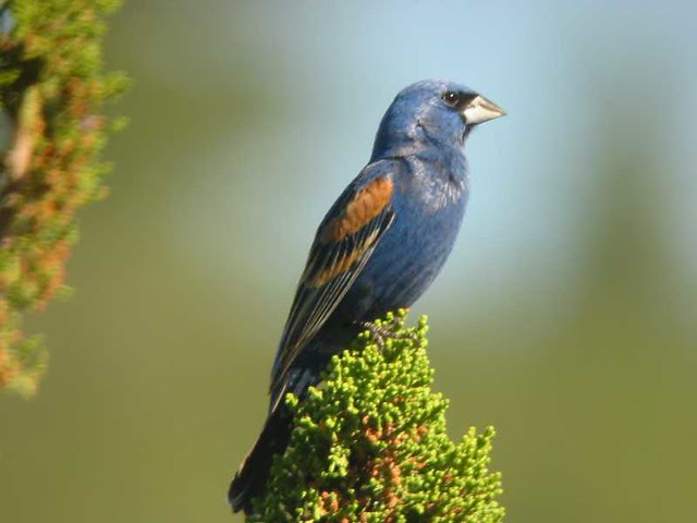 Blue Grobsbeak