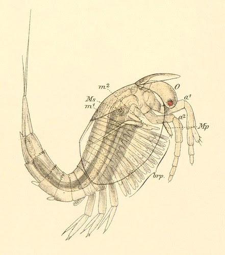 Nebalia bipes (m) detail