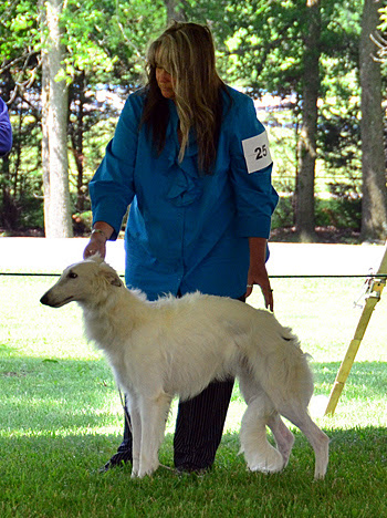 Deuce showing at the 2012 Silken Windhound national specialty show