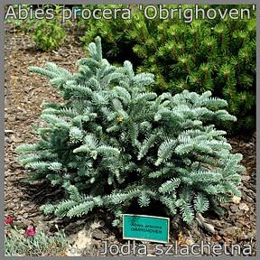 Abies procera 'Obrighoven' - Jodła szlachetna