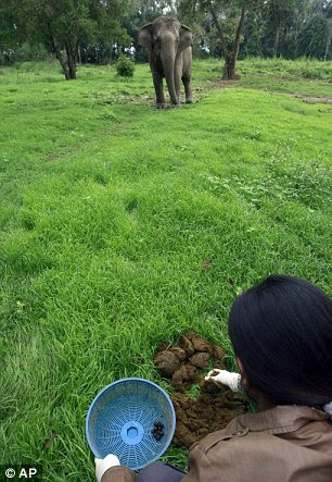A Thai mahout's wife picks coffee beans out of elephant dung at a camp in Chiang Rai province