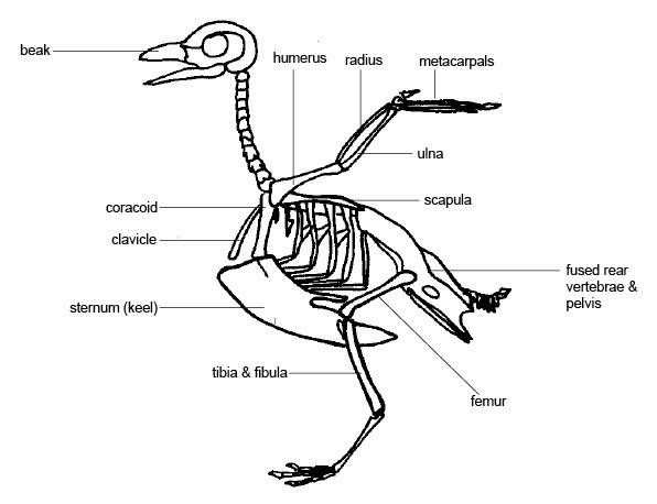 Anatomy and Physiology of Animals/The Skeleton - Wikibooks ...