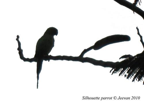 Silhouette parrot