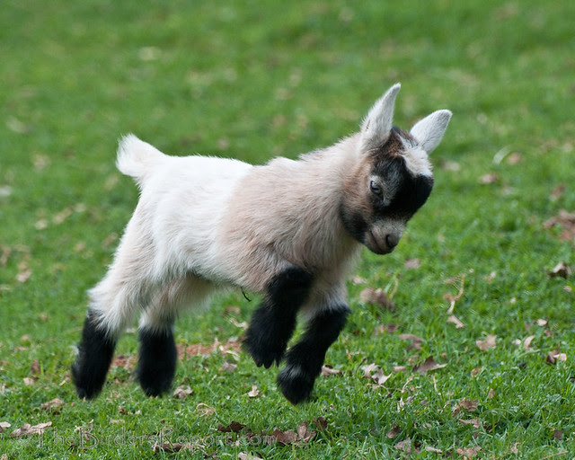 Pygmy Goat Kid Frolicking