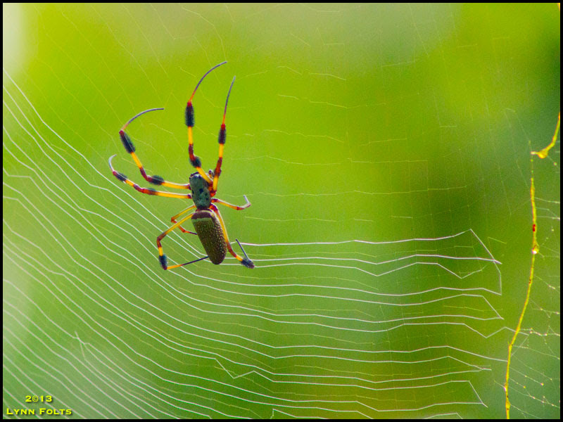 Golden-silk Spider