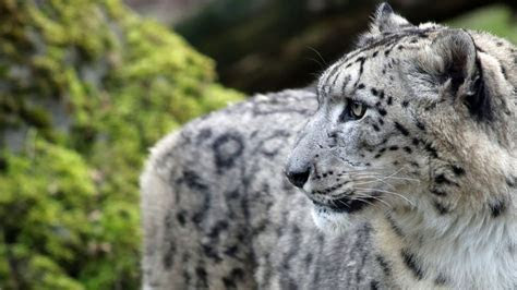 Snow Leopard Pictures ? WeNeedFun
