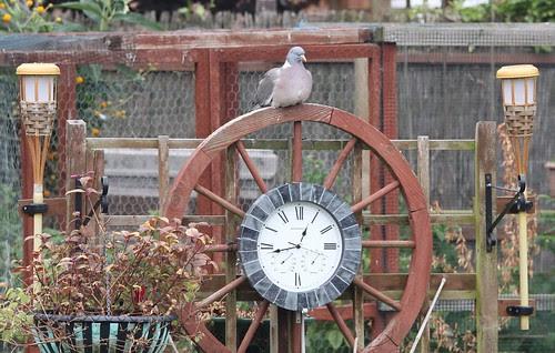 Wood Pigeon Clock