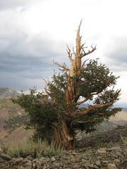 Gnarly Bristlecone Pine