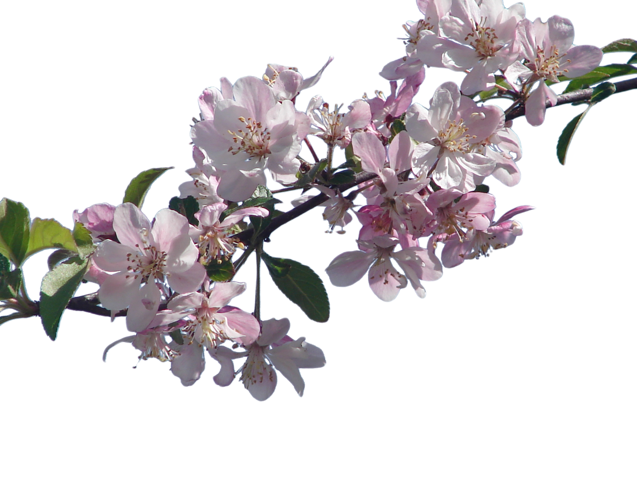 Cherry Blossom Branch png by SuicideOmen on DeviantArt