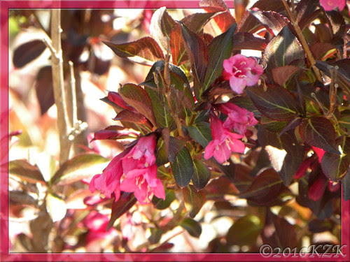 DSCN5125 Wine and Roses Weigela