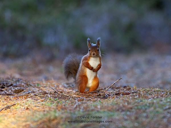 06D-5334 Temp Red Squirrel Sciurus vulgaris Copyright David Forster
