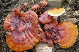 Cogumelo Japonês - Reishi