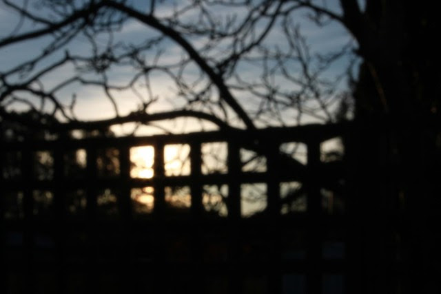 Sunset through walnut tree