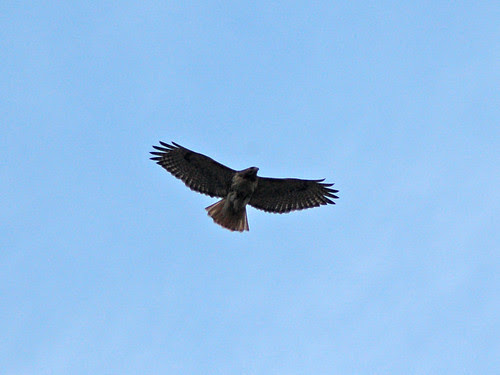 Adult Red-Tail over Central Park