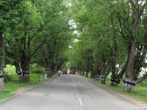 Tamarind trees line a road