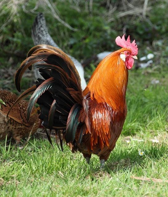 Risultati immagini per gallo di fuoco