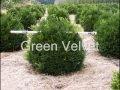 Landscaping Green Velvet Boxwood