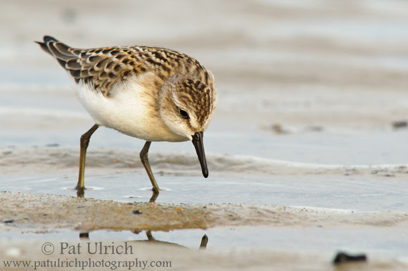 A semipalmated sandpiper is focused on finding prey