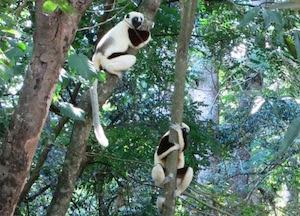 links lemurs