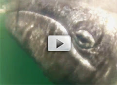 Gray whales up close