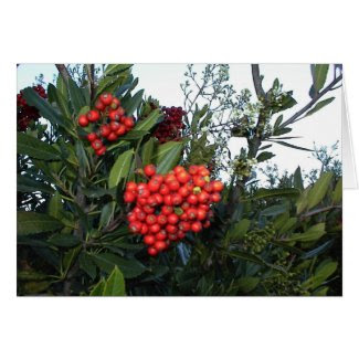 Red Cotoneaster Berries: Holiday season Greeting Card