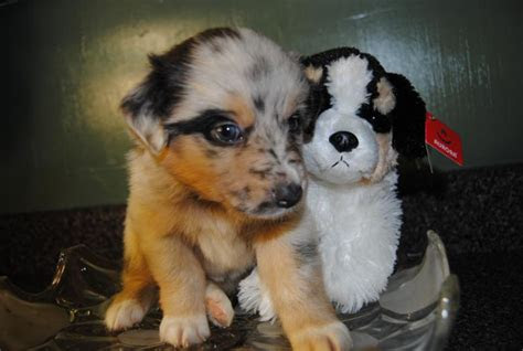 shamrock rose aussies scroll    puppies