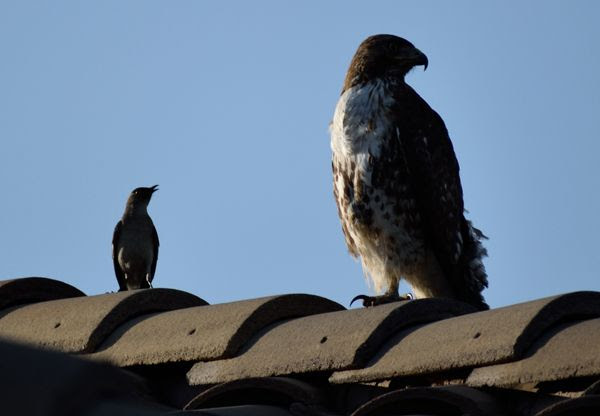 A snapshot of the hawk with a northern mockingbird perched next to it atop the roof of my neighbor's house...on April 28, 2018.