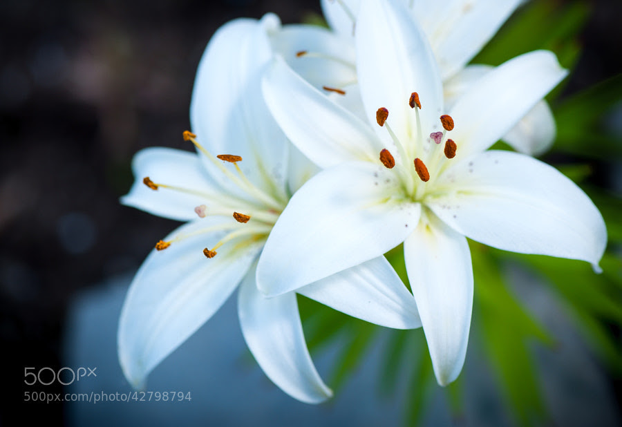 Cabin Lilies by Jay Scott on 500px.com
