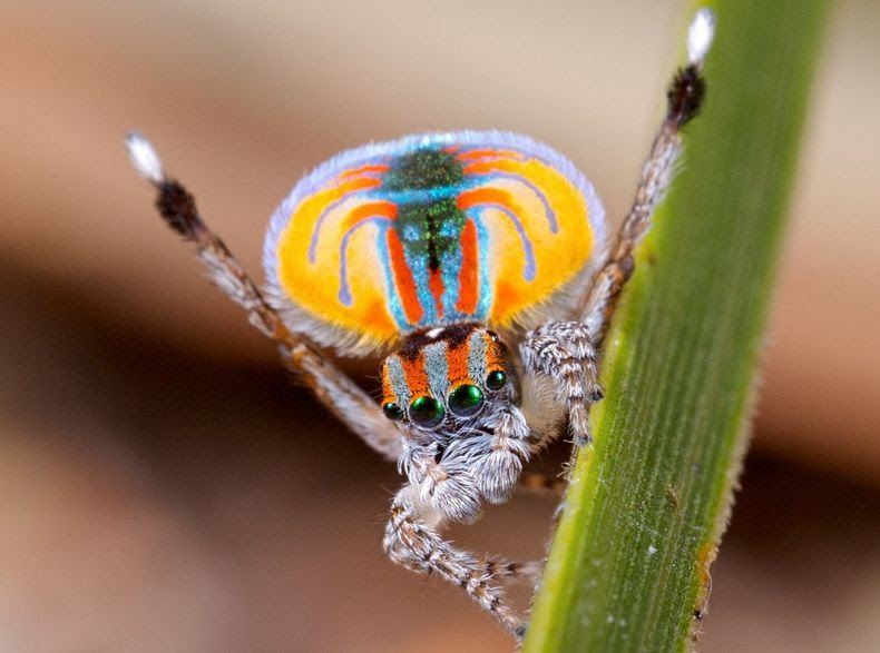 peacock-spider-13