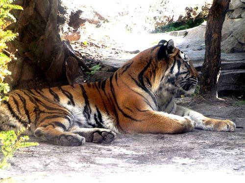 IMG_7106_Bengal_Tiger