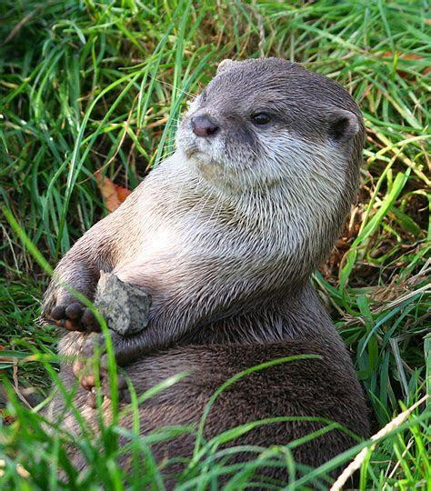 Short Clawed Otter   RZSS Blog