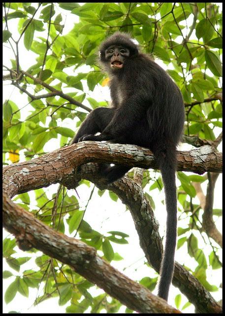 Banded Leaf Monkey