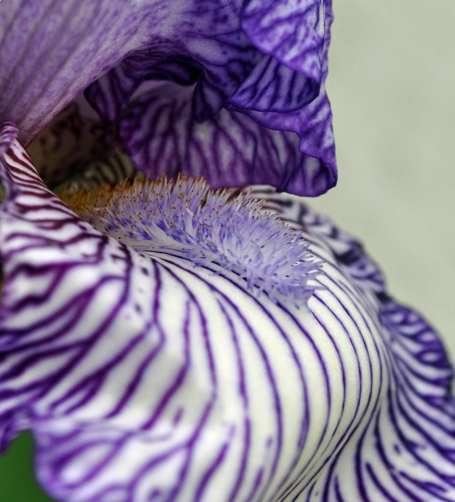 Striped Iris by White Fence (2)