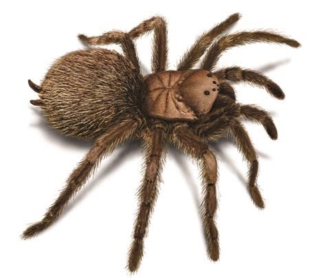 Tarantula Spider Facts ? Appearance, Life Cycle, Etc.