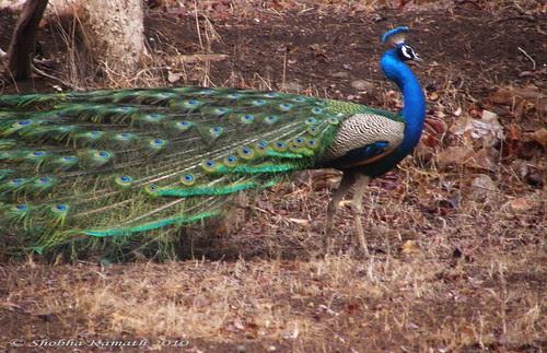 Gir Forest - Peacock4