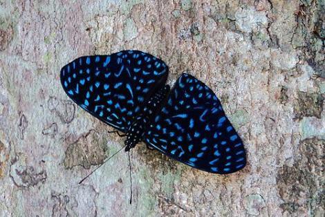 Arete LepidopteroFilo