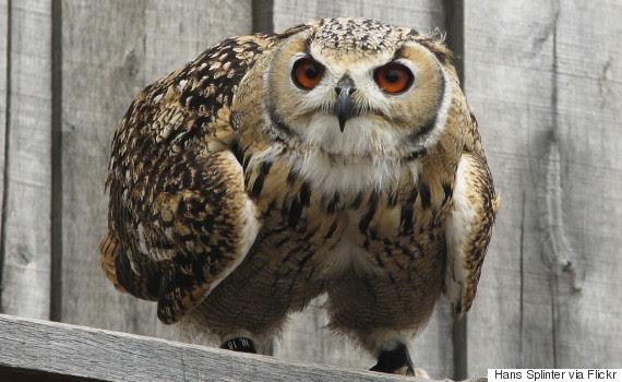 stamina owl