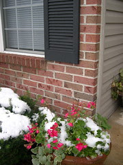 snow on geraniums