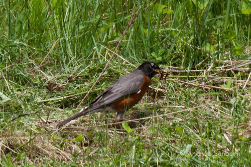 American Robin with worms-2.jpg