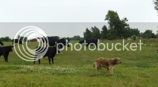 Calves dogs  bunny