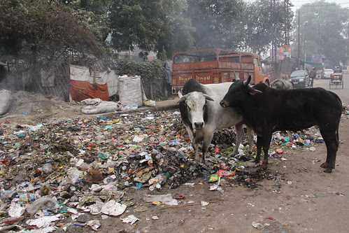 We Are A Nation That Loves Cows .. That Eat Garbage On The Streets While The Owner Peacefully Sleeps In His House by firoze shakir photographerno1