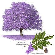 jacaranda_med.jpg (180×180)