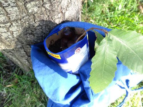 Esskastanie in Milchtüte getopft