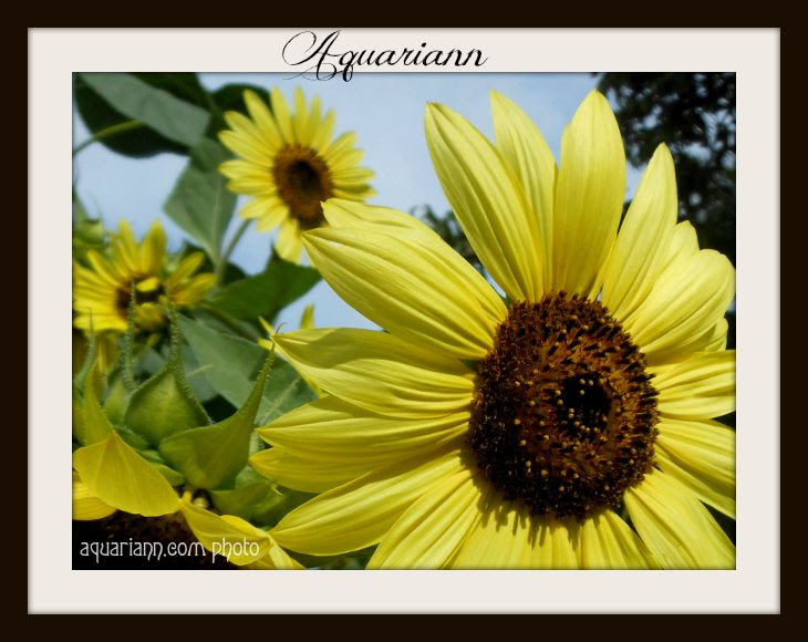 Aquariann-sunflower-garden