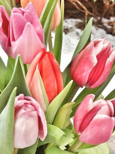 three colours tulips