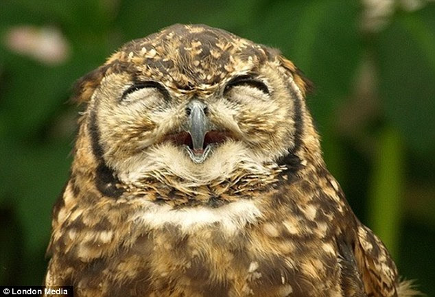 A real hoot: They're not known for their sense of humour, but something must have tickled this owl