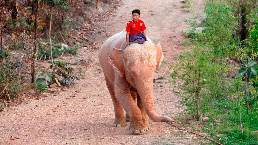 Significado De Los Elefantes Blancos En Tailandia Imágenes Y Fotos