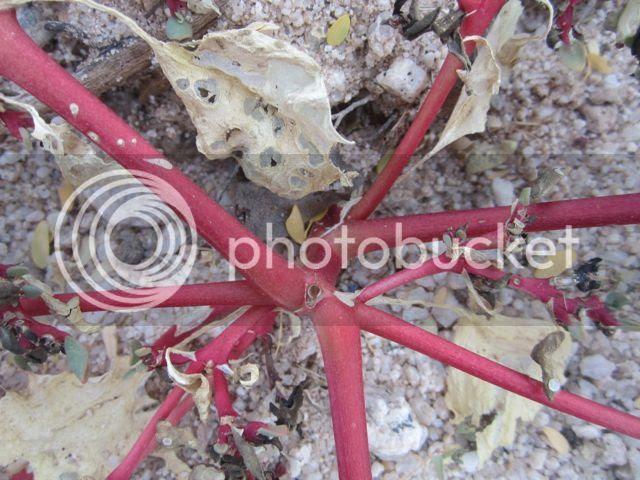 Ruby desert plant photo Rubydesertplant_zps15f45671.jpg