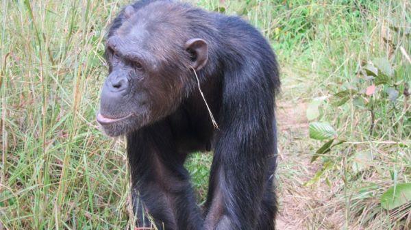 חורים ברשת | החוקרים הופתעו: השימפנזות פיתחו טרנד אופנתי